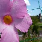マンデビラ かたちのいい花です