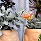 福娘(コチレドン)の花