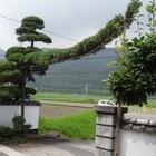 槇の木を縦に散らし玉仕立て・一部の枝...