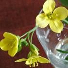 ルッコラの花。 9月から少しずつ収穫し...