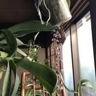 和室の鴨居に吊るした胡蝶蘭の茎が伸び...