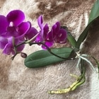 我が家で増えた子株の胡蝶蘭です。 まだ...