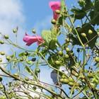 アサリナの花とバラの実。