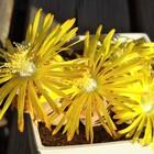 全開のリトープスの花! Lithops sp.