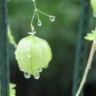 雨に濡れるフウセンカズラ 9月17日撮影