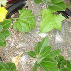 恵比寿大黒  花もちの良いパキポです。