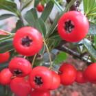 ピラカンサ 赤い実