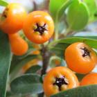 ピラカンサ 橙の実