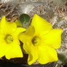 パキポジウム 恵比寿大黒 良く咲きます。