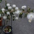 ねむの木に花が咲きました。 植木鉢でも...