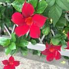 2017/9/14 母が好きな赤い花、明日が母...