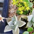 たった一つですが ブロンズ姫に花が咲き...