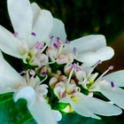 🥀コリアンダー(セリ科)の花 !  *コリア...