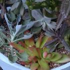 火祭り・クラッスラ属の多肉植物が増えた