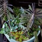 火祭りクラッスラが増えた寄せ植え全体像