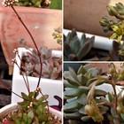 3つの多肉植物花姿... 📷左:クラッスラ...