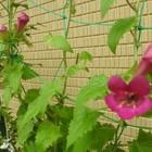 アサリナがやっとぼちぼち咲き始めてい...