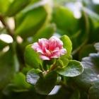 カランコエ  ピンク色が、咲き始めました🌸