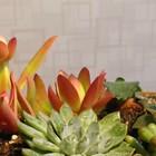 多肉植物 初めて育てます いっしょの鉢...