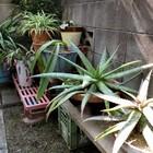 裏の通路に並べている植木鉢...今年の冬...