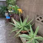 狭くて細い裏口通りも鉢植えが立ち並び...