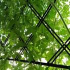 緑のカーテン  室内から撮影