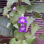 種から育てたアサリナが開花しました。...