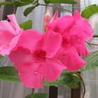 八重咲きのマンデビラピンクパフェが咲...