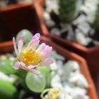 可憐な白拍子の花