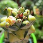 リチェイ錦の花