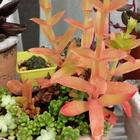 蝋細工みたいな色の葉 本物だけど造花っ...