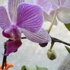 買ってきて5か月位経ちます胡蝶蘭が咲...