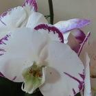 8月 胡蝶ラン 春から咲き続けてます(^_^)