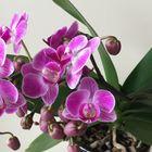 胡蝶蘭のお花が増えて10個咲いています〜🌟