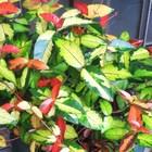 テイカカズラ 紅葉の新芽