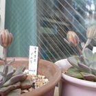 2020.6 タキタスベルラ 先月出た花芽が...