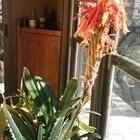 アロエの花…寒くなると南側の土間に入れ...