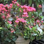 🌻赤いカランコエの花...🔶花が咲き出して...