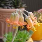 福娘(コチレドン)が、小さな花を鈴なり...