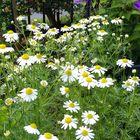たくさん咲き出しました 庭がカモミール...