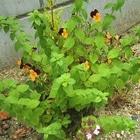 冬に作った寄せ植えを庭に移して約1ヶ...