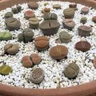 大きな鉢に多種のリトープスを同居させ...