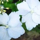 山紫陽花装飾🥀花🌼