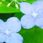 山紫陽花装飾🥀花💜