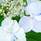山紫陽花装飾🥀花💙