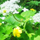 エゾアジサイと黄色い夏の🌻小花