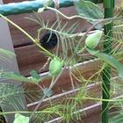 トケイソウ つぼみは沢山。 花は…どこ❓