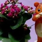 マイペースで開花中の『カランコエ❛ガラ...