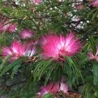 ネムの花 ご近所の庭の道沿いに沢山咲い...
