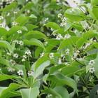 ソヨゴの花です。こんなにたくさん咲く...